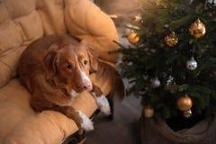 Hond Nova Scotia Duck Tolling Retriever Kerstmisseizoen 2017, nieuw jaar Royalty-vrije Stock Afbeelding