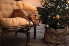 Hond Nova Scotia Duck Tolling Retriever Kerstmisseizoen 2017, nieuw jaar Stock Fotografie