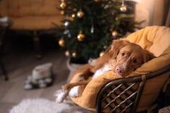 Hond Nova Scotia Duck Tolling Retriever Kerstmisseizoen 2017, nieuw jaar Royalty-vrije Stock Fotografie
