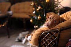 Hond Nova Scotia Duck Tolling Retriever Kerstmisseizoen 2017, nieuw jaar Stock Afbeeldingen