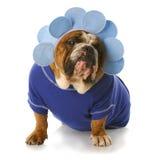 Hond omhoog gekleed als een bloem stock foto