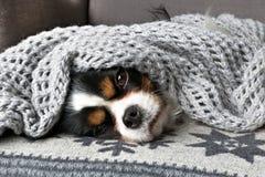Hond onder de deken Stock Fotografie