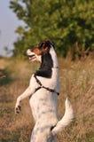 Hond op achterste benen stock afbeeldingen