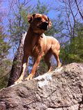 Hond op berg Stock Foto's