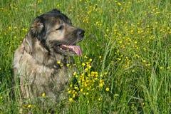 Hond op bloemgebied Stock Afbeeldingen