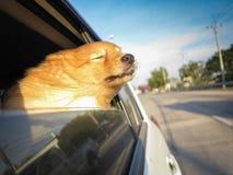 Hond op de auto stock foto's