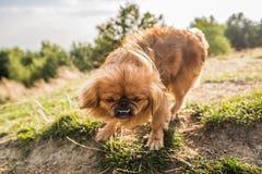 Hond op de bovenkant van de heuvel Stock Foto's