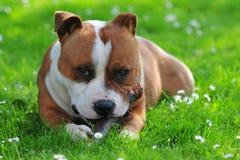 Hond op de graswhit stok stock afbeelding