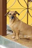 Hond op de portiek Royalty-vrije Stock Afbeeldingen