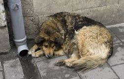 Hond op de straat Stock Foto
