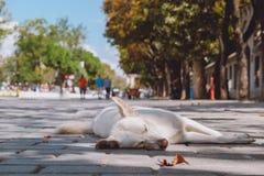 Hond op de straat in Istanboel Stock Afbeelding