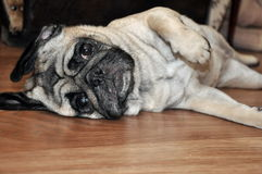 Hond op de vloer Stock Afbeelding