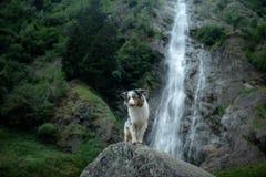 Hond op de waterval Het huisdier op de aard, rust Australische Herder stock foto's