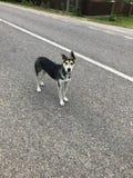 Hond op de Weg Stock Afbeelding