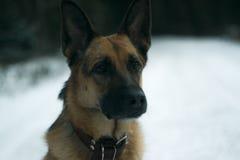Hond op de wintergang Stock Afbeeldingen