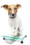 Hond op digitale schaal Stock Afbeeldingen