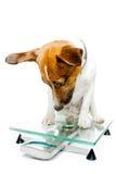 Hond op digitale schaal Stock Foto's