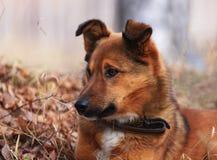 Hond op een bijnaamRood Royalty-vrije Stock Fotografie