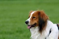 Hond op een groen gebied Royalty-vrije Stock Afbeelding