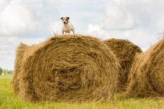 Hond op een hooiberg bij de zomer hete dagen tijdens oogst het maaien Stock Afbeeldingen