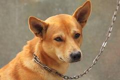 Hond op een ketting Stock Foto's