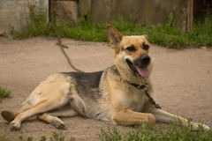 Hond op een ketting royalty-vrije stock fotografie