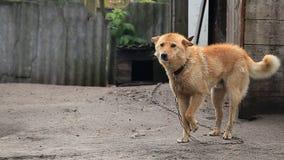 Hond op een ketting rond de cabine stock footage