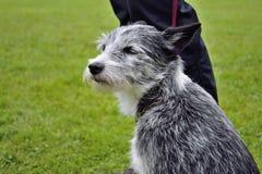 Hond op een leiband Stock Afbeelding