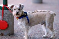 Hond op een leiband stock foto's