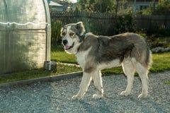Hond op een leiband Stock Afbeeldingen