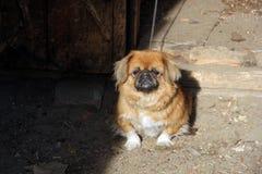 Hond op een leiband Royalty-vrije Stock Afbeelding