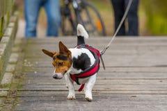 Hond op een leiband die op de brug lopen royalty-vrije stock afbeelding