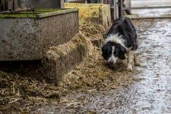 Hond op een melkveehouderij wordt gebaseerd die Stock Afbeelding