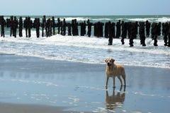 Hond op een strand Royalty-vrije Stock Fotografie
