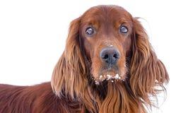 Hond op een witte achtergrond. Stock Foto's