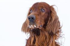 Hond op een witte achtergrond. Stock Foto