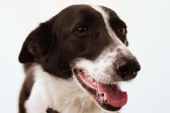 Hond op geïsoleerde witte achtergrond Stock Foto