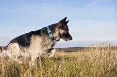 Hond op gebied Royalty-vrije Stock Afbeelding