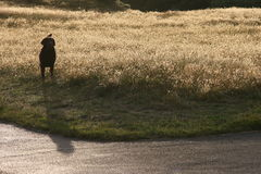 Hond op gebied Stock Fotografie