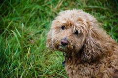 hond op gebied Royalty-vrije Stock Foto's