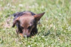 Hond op gras Stock Fotografie
