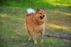 Hond op groen gras stock fotografie