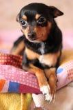 Hond op het bed Royalty-vrije Stock Foto's