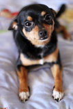 Hond op het bed Royalty-vrije Stock Afbeeldingen
