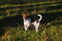 Hond op het gazon Royalty-vrije Stock Fotografie