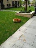 Hond op het gazon royalty-vrije stock foto