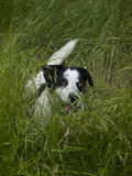 Hond op het gras Stock Fotografie