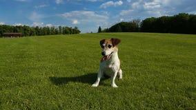 Hond op het gras stock video