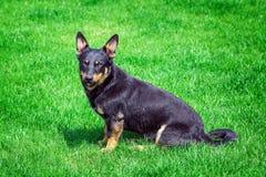 Hond op het groene gras Stock Foto's