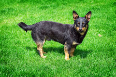 Hond op het groene gras Stock Afbeelding